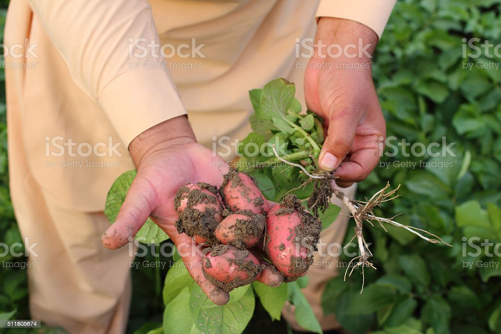 Asian Farmer Showing Potato Crop stock photo