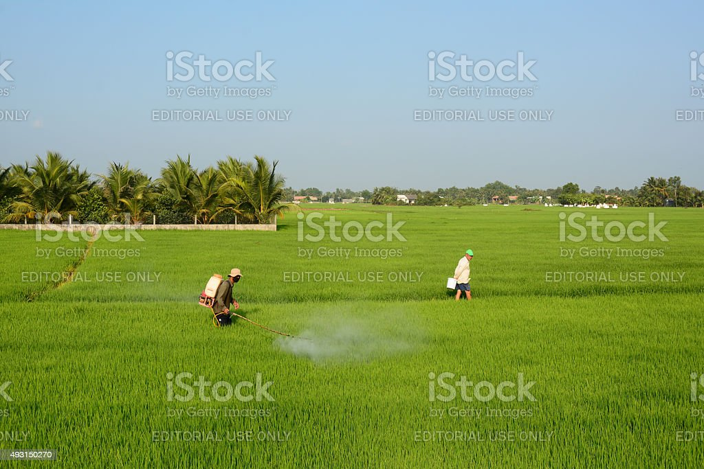 Asian farmer spraying pesticide in paddy field stock photo