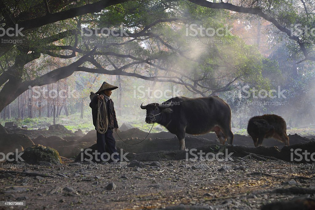 Asian farmers and cattle royalty-free stock photo