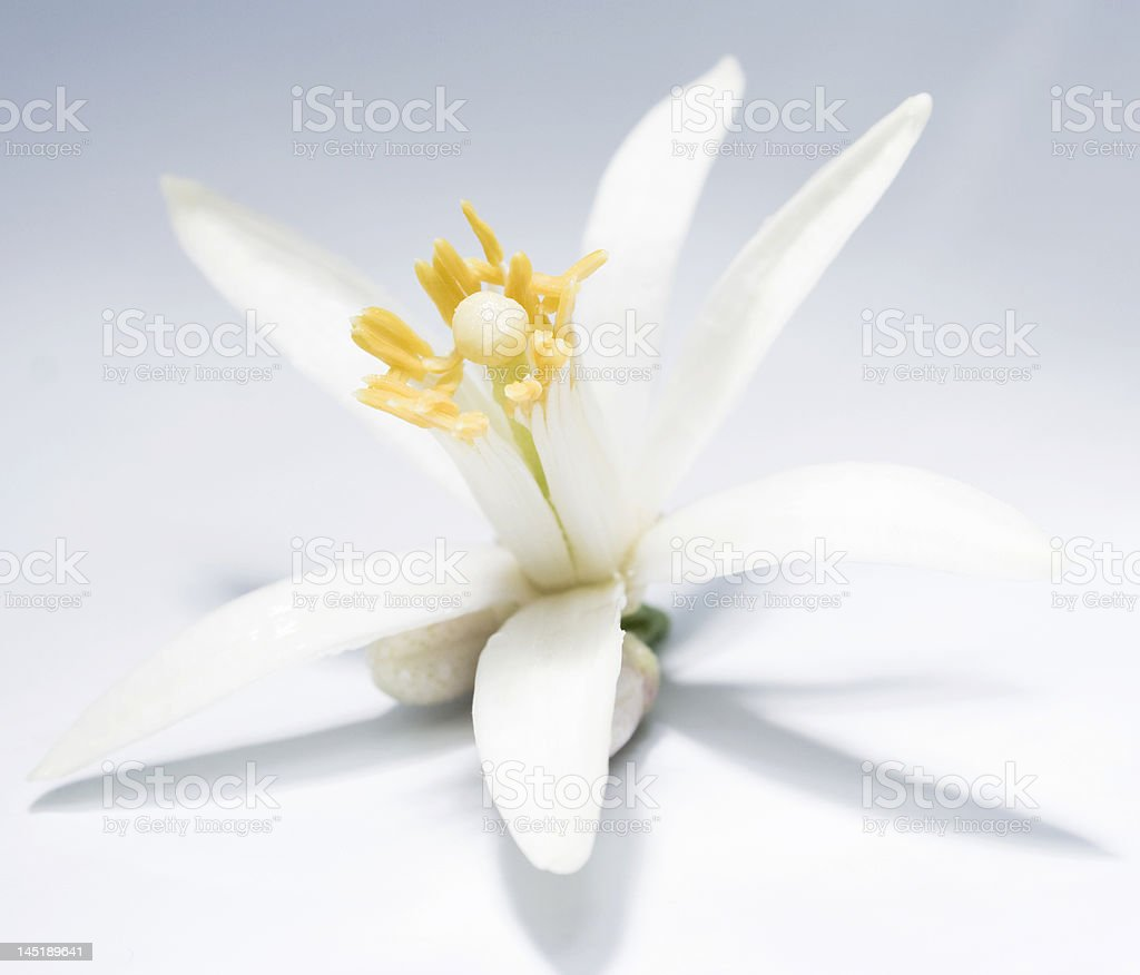 Asian flower royalty-free stock photo