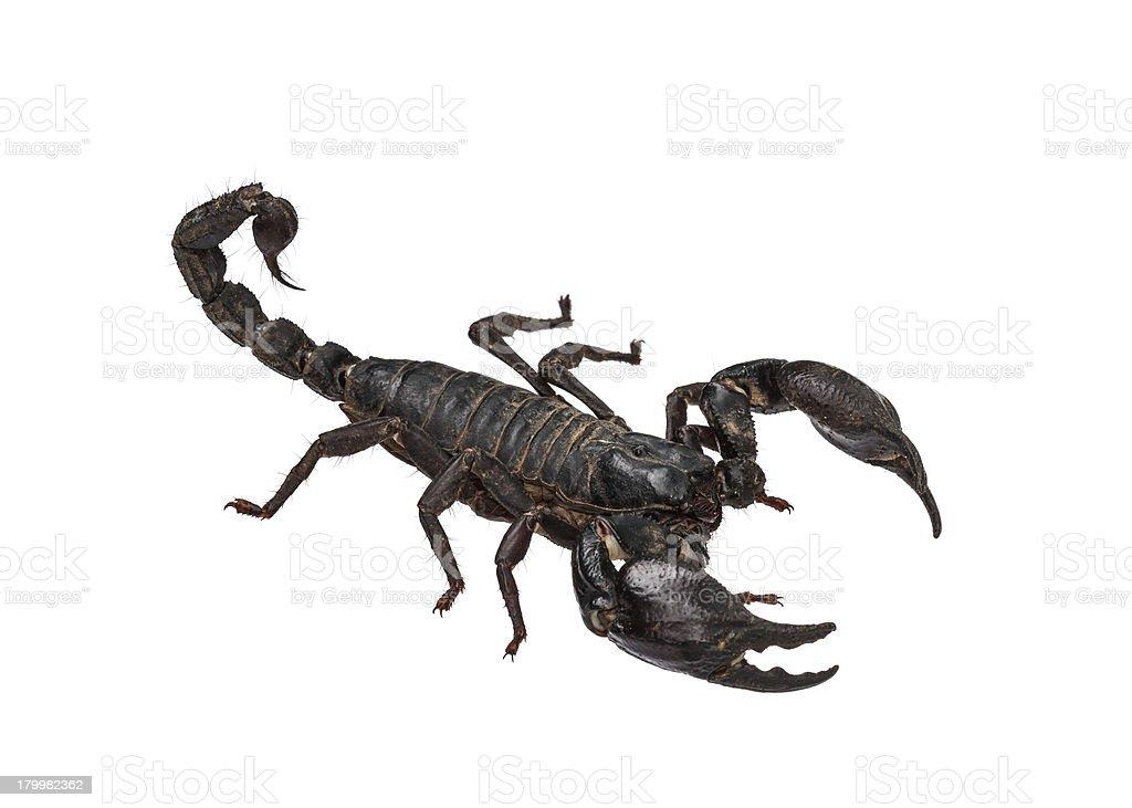 Asian giant forest scorpion (Heterometrus laoticus) royalty-free stock photo