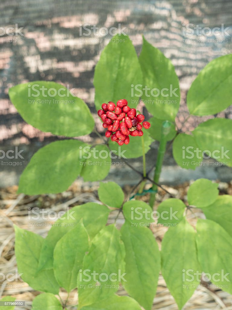 Asian ginseng stock photo