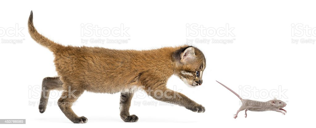 Asian golden cat chasing a mouse, isolated stock photo