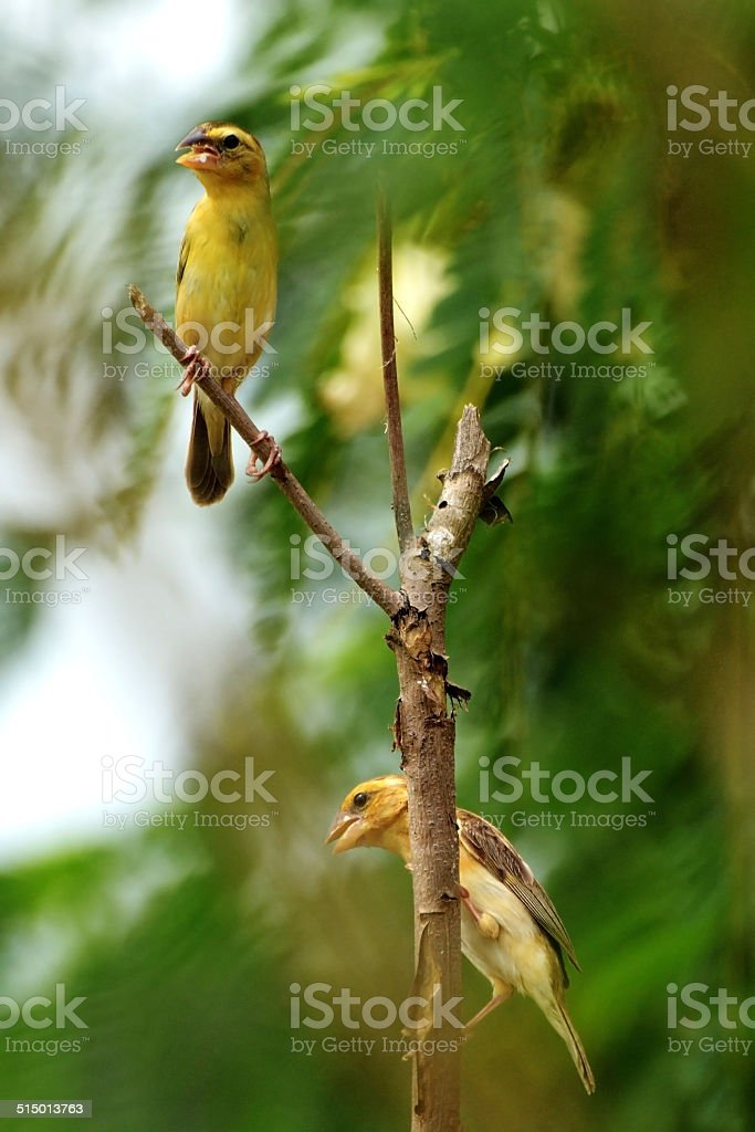 Asian Golden Weaver royalty-free stock photo