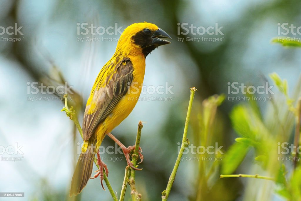 Asian Golden Weaver royalty-free stock photo