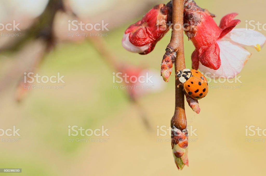Asian Ladybug on Apple Tree stock photo