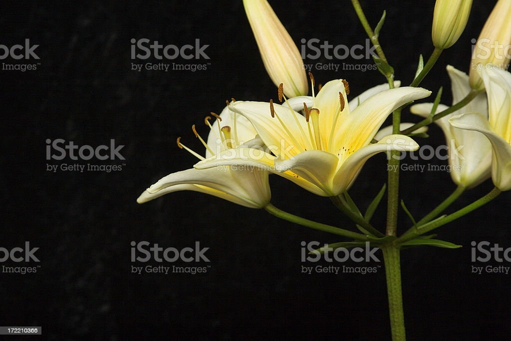 Asian Lillys stock photo