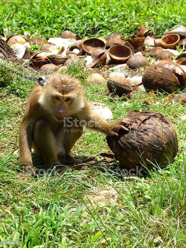 Asian lineage monkey pick coconut stock photo