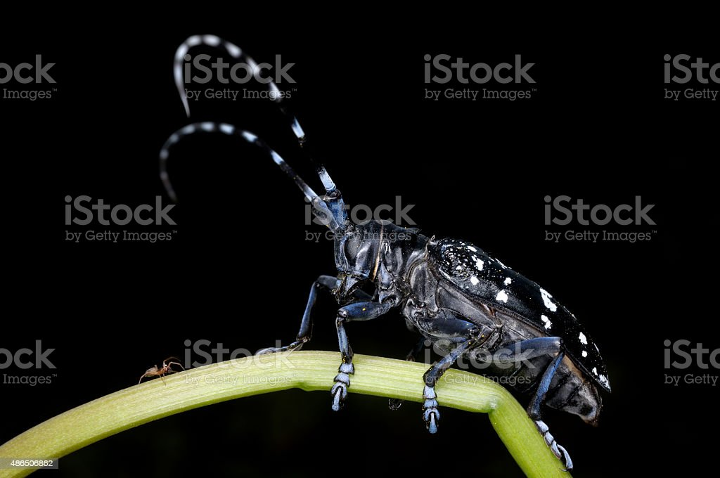Asian Longhorned Beetle and Spider stock photo