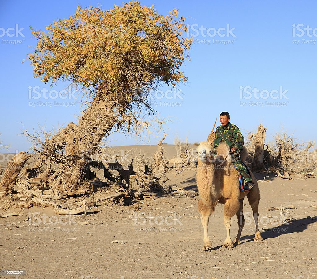 asian man on camel in autumn royalty-free stock photo