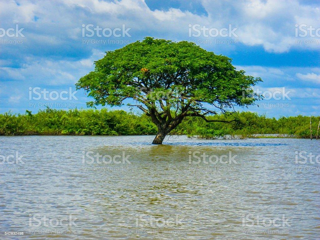 Asian Mangrove Tree Flooded Lake Cambodia stock photo