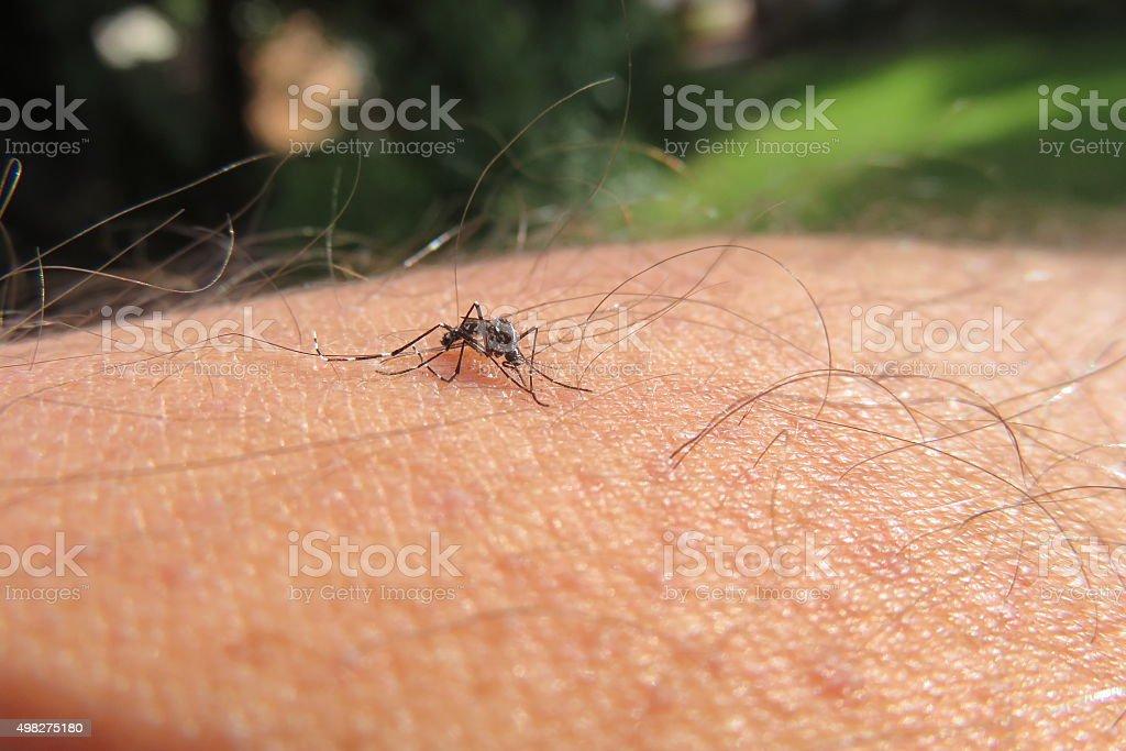Asian Mosquito stock photo