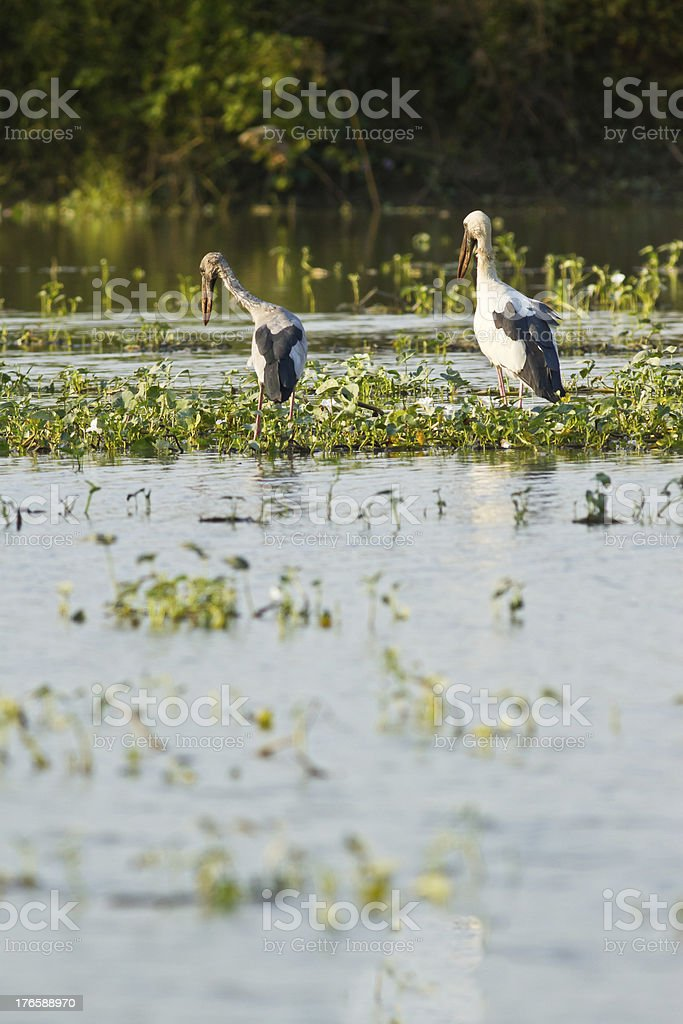 Asian openbill feeding in the pond royalty-free stock photo