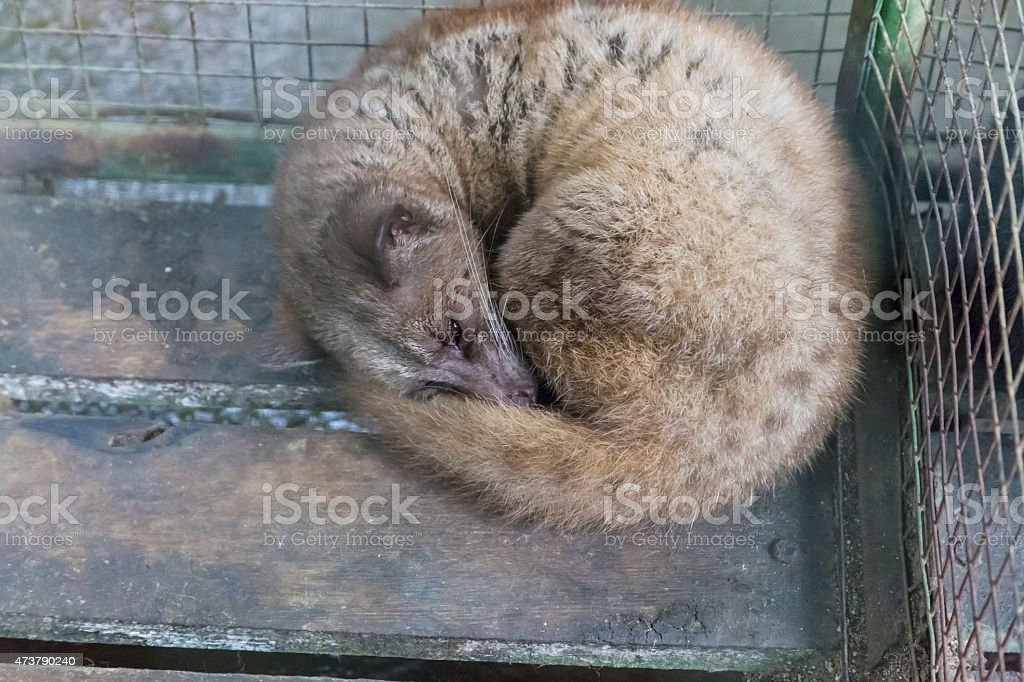 Asian Palm Civet in a cage stock photo
