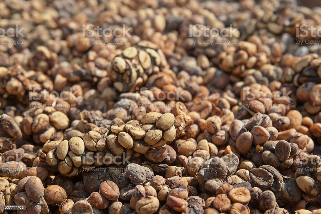 Asian palm civet Luwak feces with coffee beans stock photo