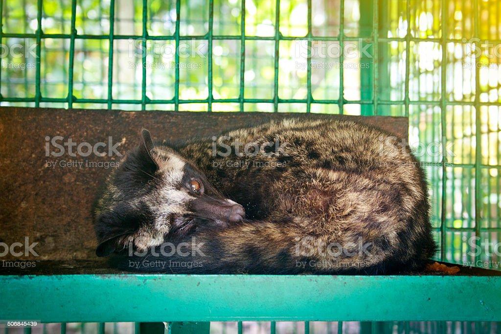Asian Palm Civet stock photo