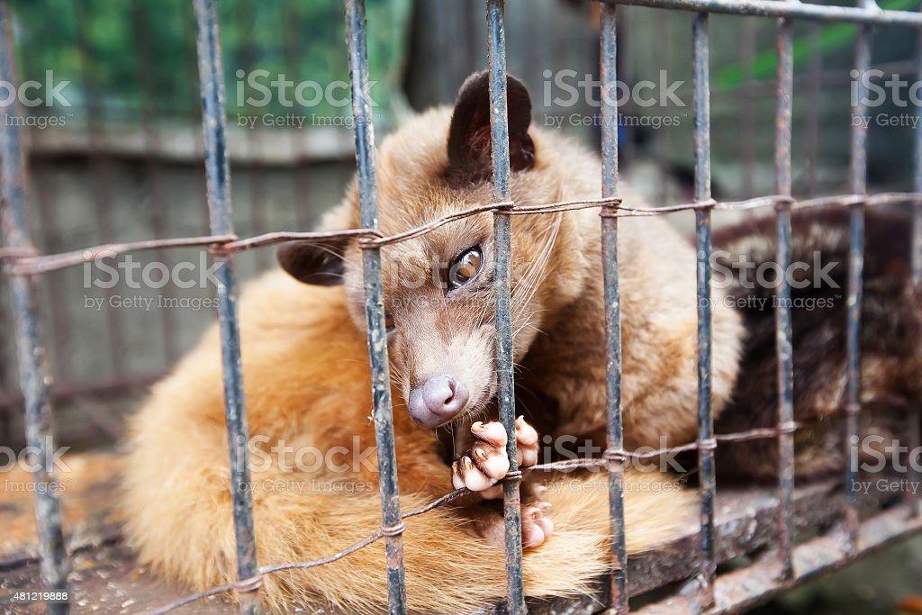 Asian Palm Civet produces Kopi luwak stock photo