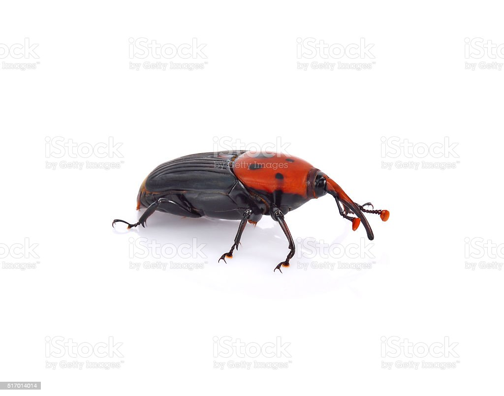 Asian palm weevil on white background stock photo