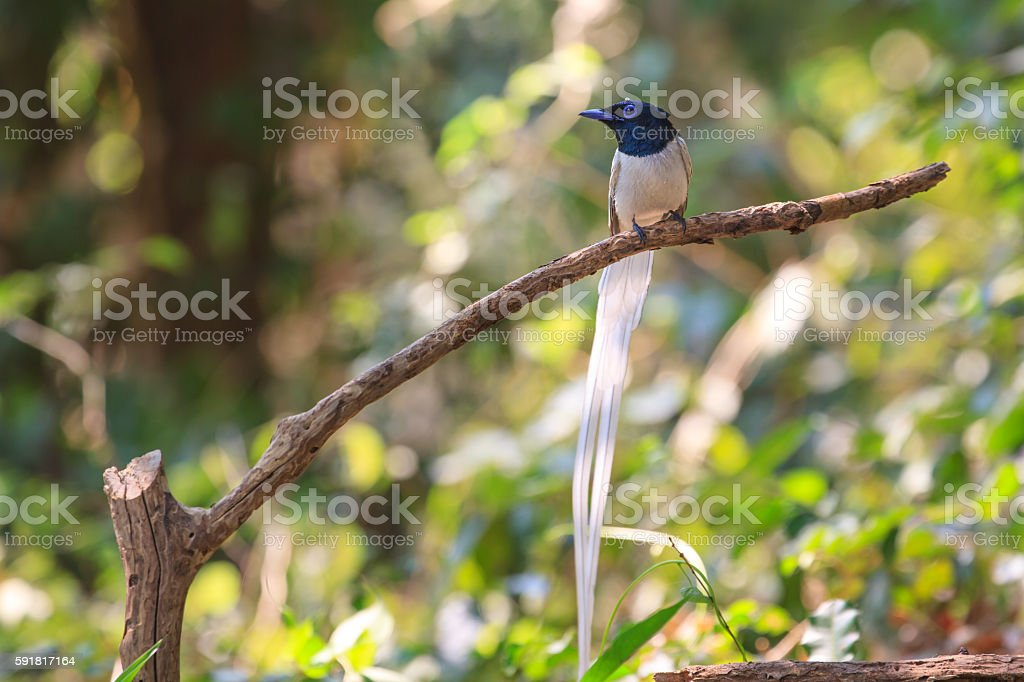 asian paradise flycatcher perching on a branch stock photo