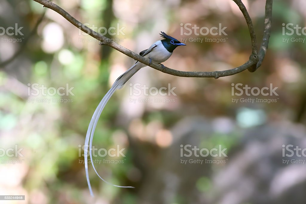 Asian Paradise-Flycatcher stock photo