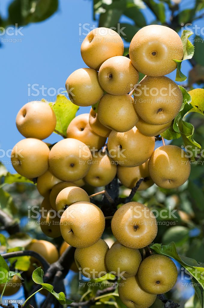 Asian pears on branch stock photo