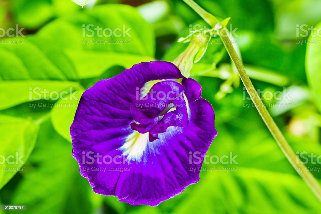 Asian pigeonwings flower stock photo