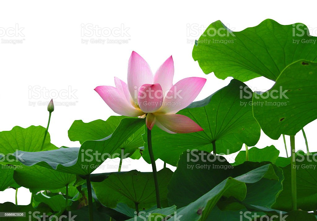 Asian pink lotus flower with leaves stock photo