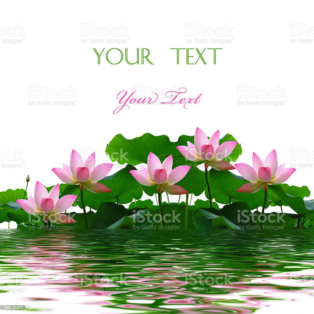 Asian pink lotus flowers stock photo