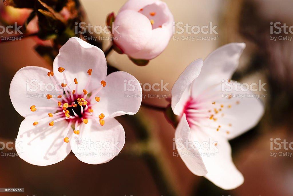 Asian plum blossom macro stock photo