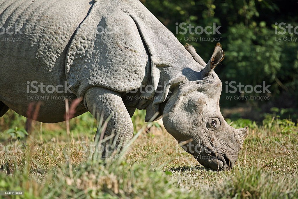 Asian rhino royalty-free stock photo