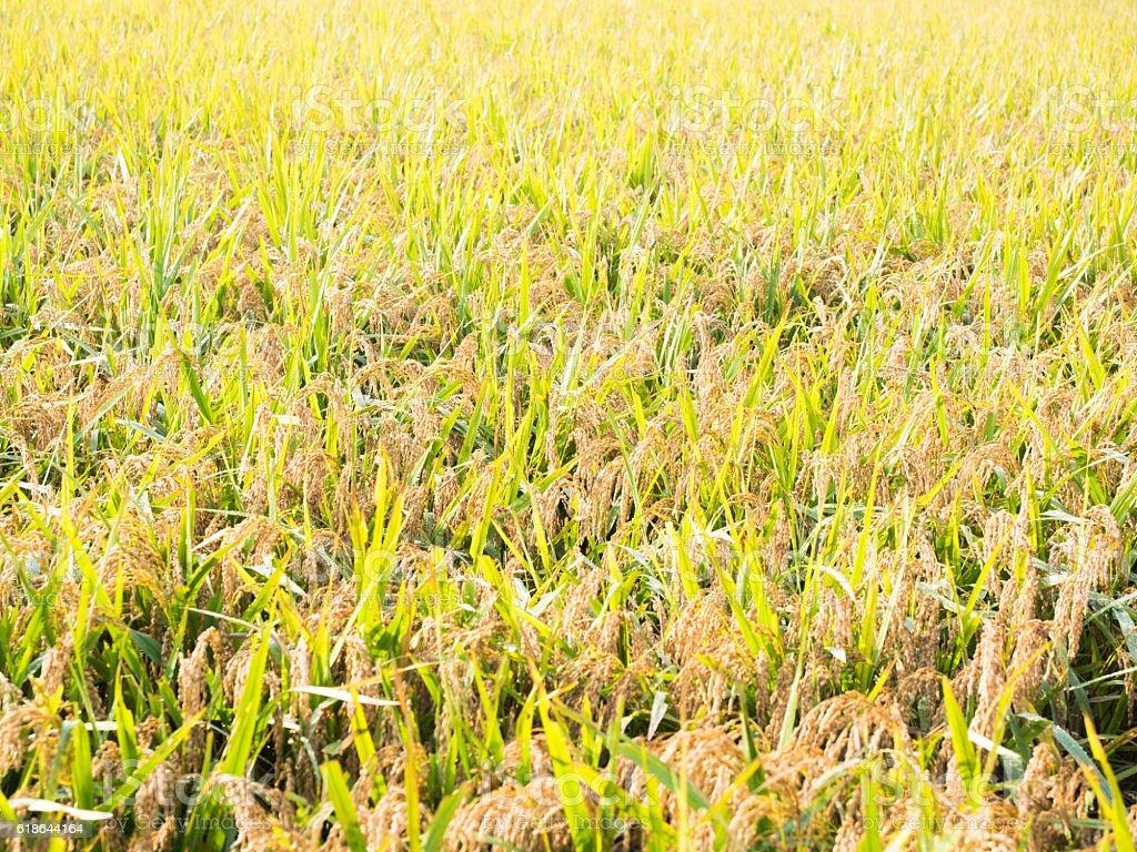 Asian rice stock photo