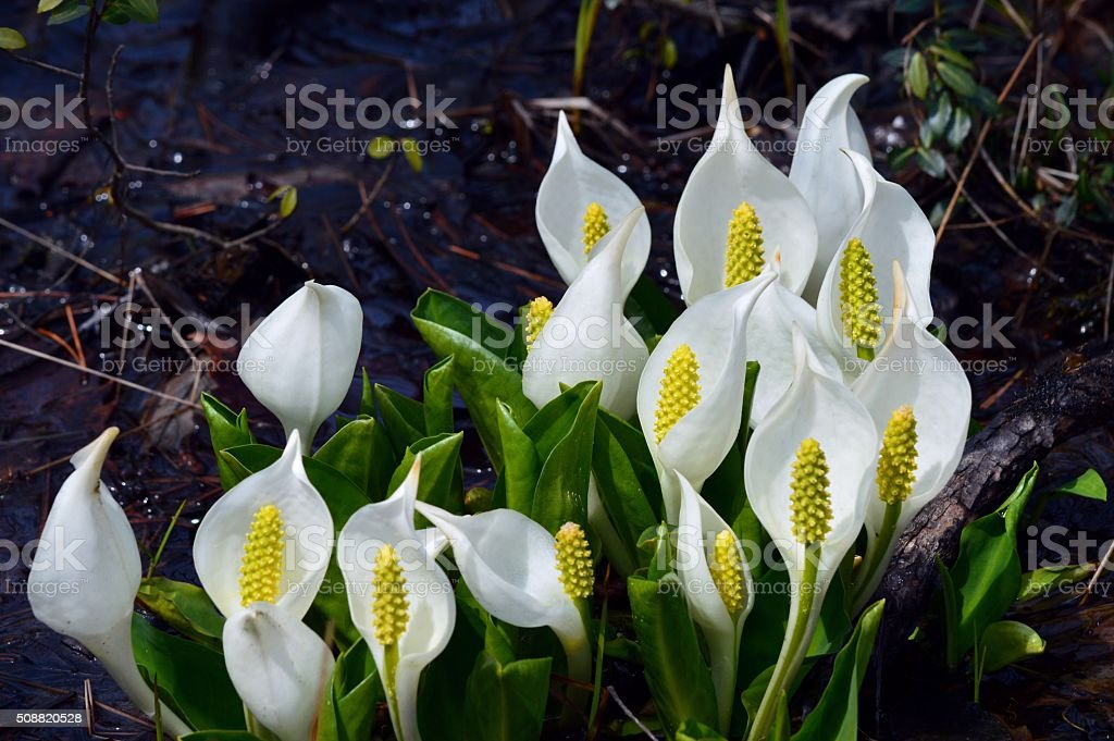 Asian skunk cabbage stock photo