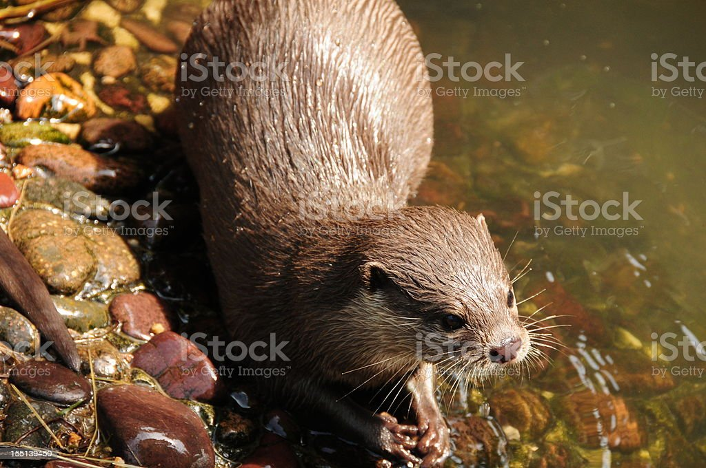 Asian small clawed Otter. stock photo