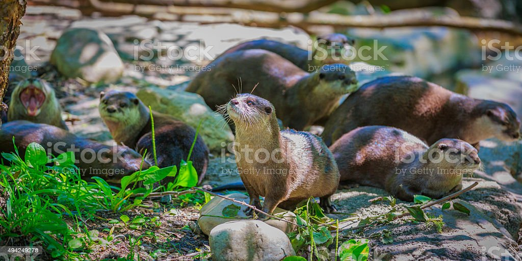 Asian small-clawed otters stock photo