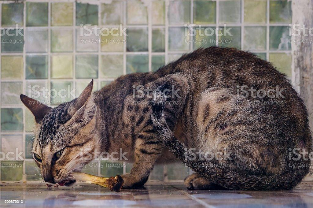 asian street cat eating chicken bone stock photo