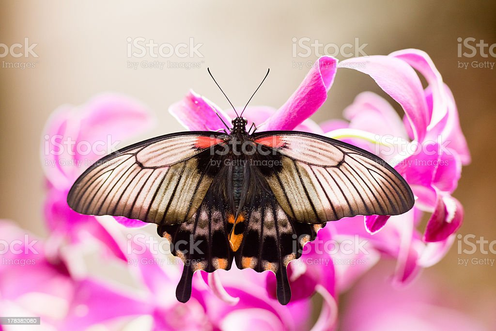 Asian Swallowtail tropic butterfly sucking nectar royalty-free stock photo