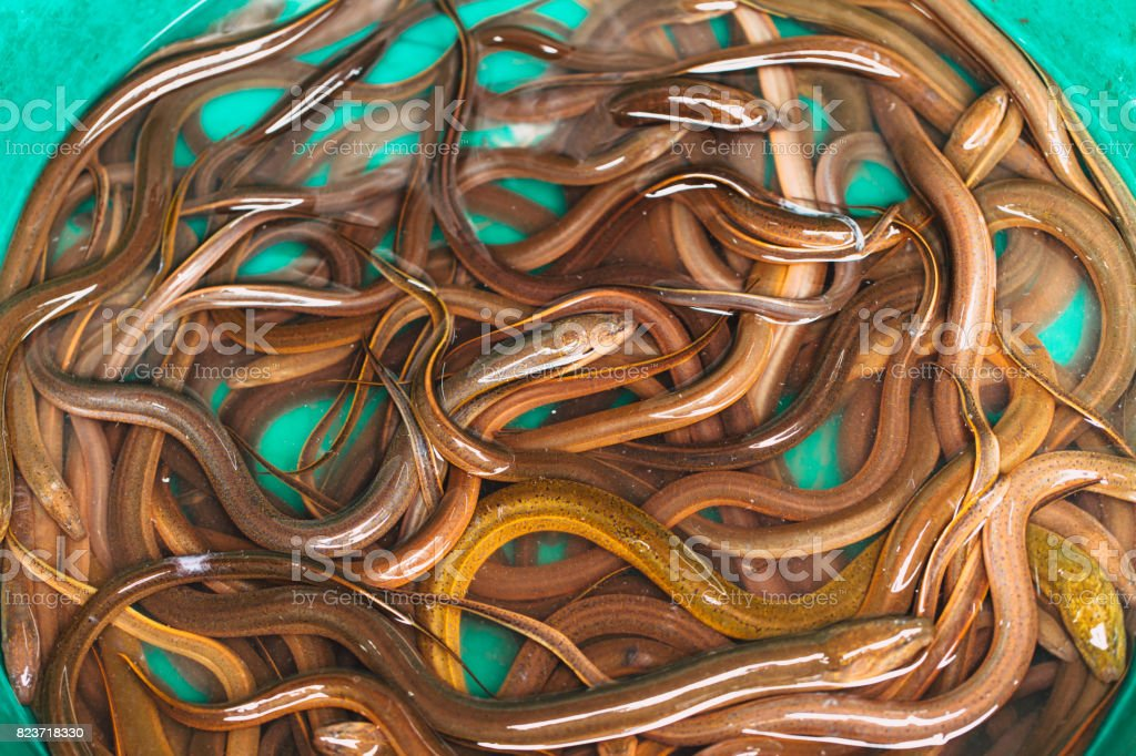 Asian Thai eel fish or snake fish like worms sale at street market in thailand for food. stock photo