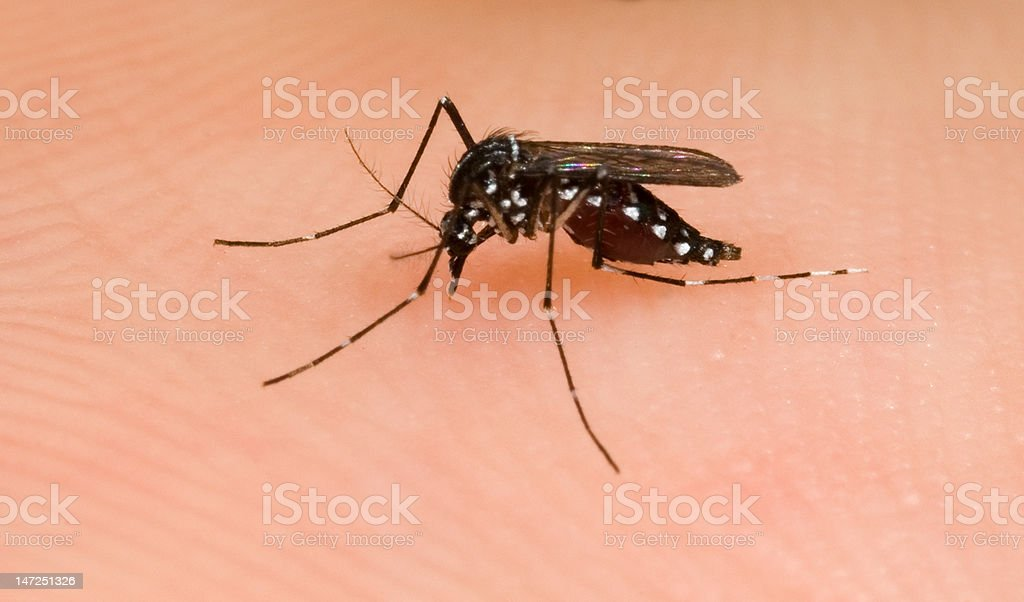 Asian Tiger Mosquito stock photo
