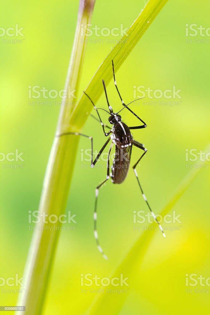 Asian Tiger Mosquito (Aedes albopictus) stock photo
