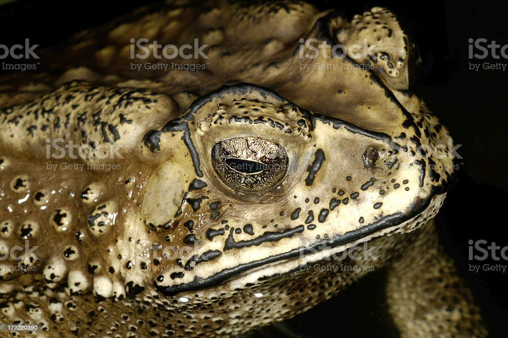 Asian Toad royalty-free stock photo