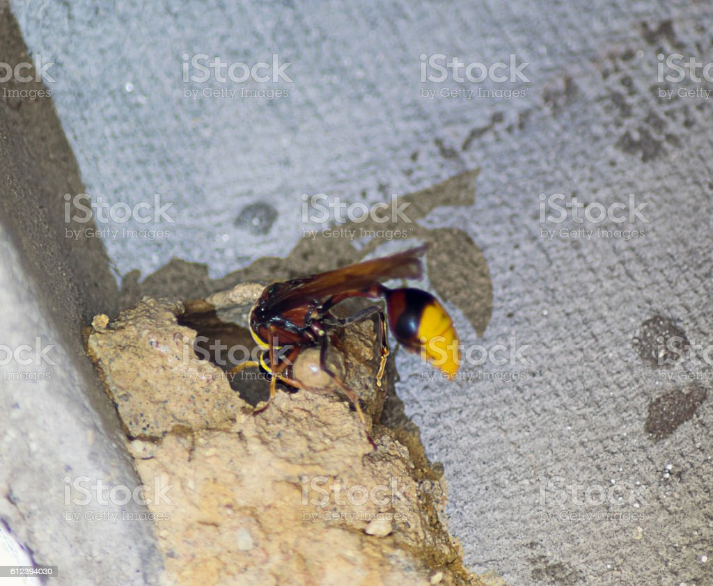 Asian wasp building nest with mud stock photo