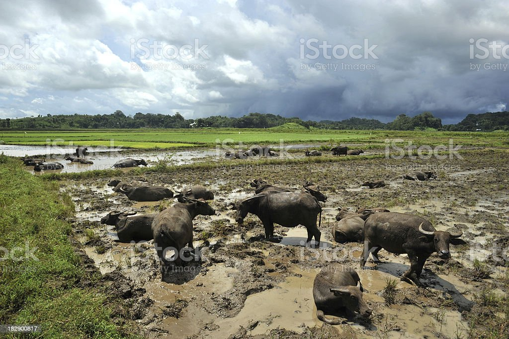 Asian water buffalos in mud, Sumba, Indonesia stock photo