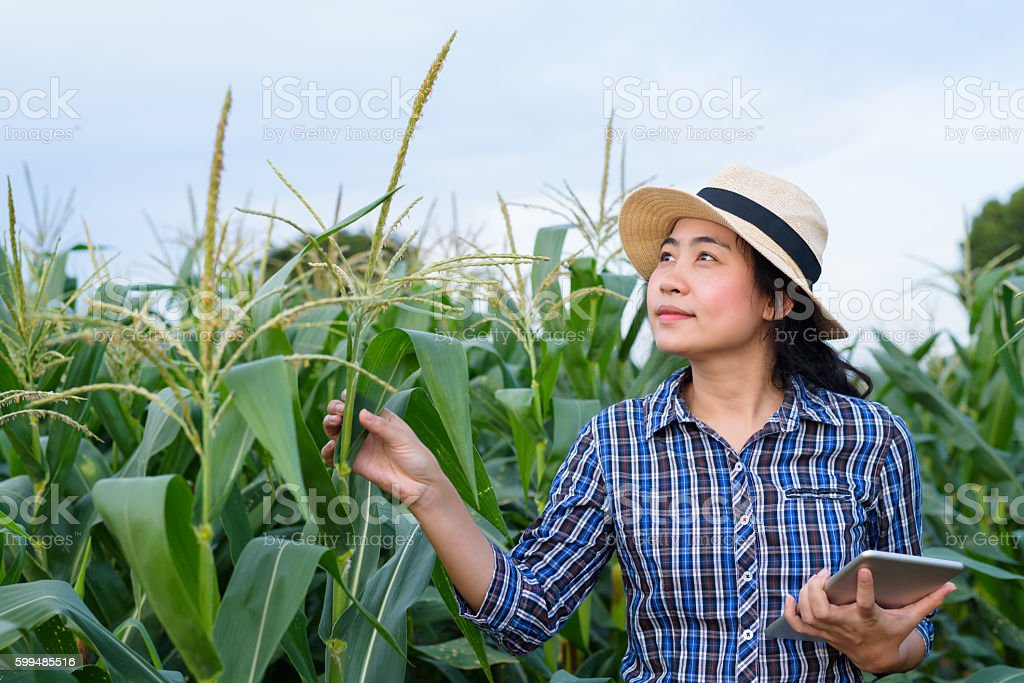 Asian woman farmer in corn field with digital tablet stock photo