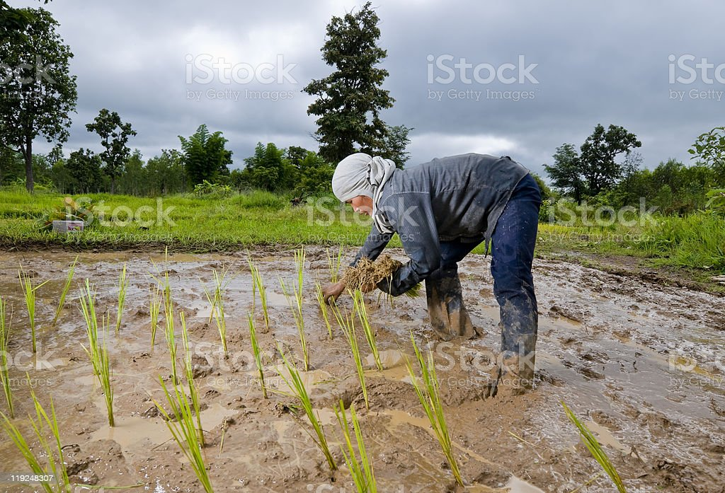 asian woman growing rice royalty-free stock photo