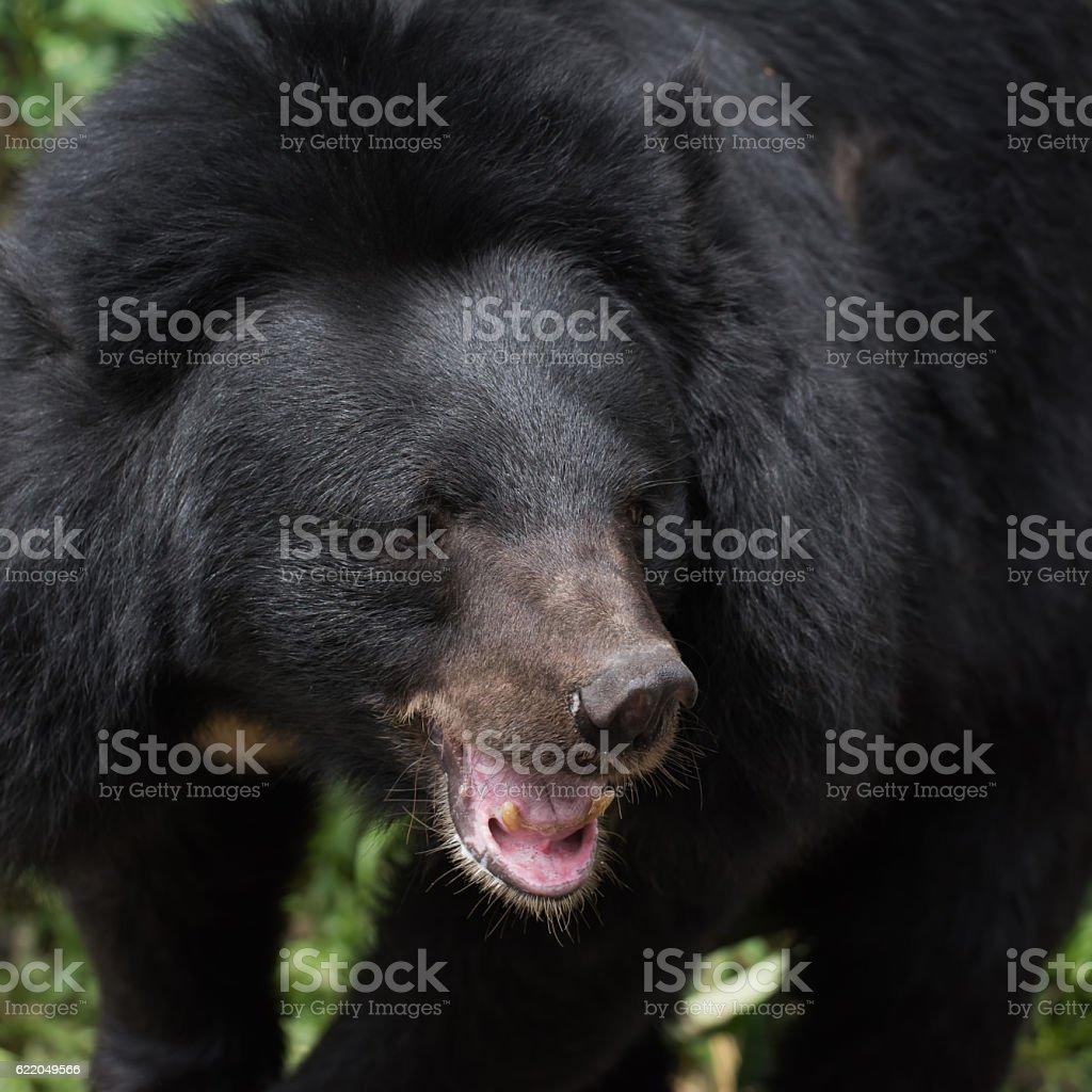 Asiatic black bear face stock photo