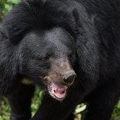 Asiatic black bear face