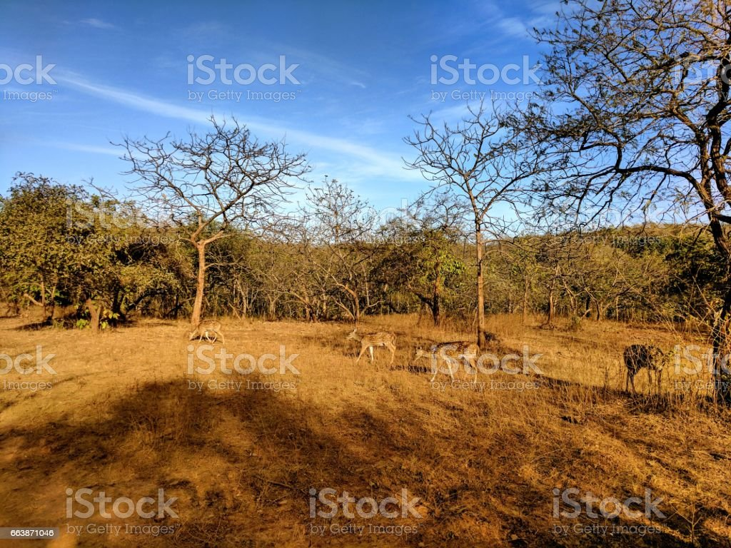 Asiatic Deer stock photo