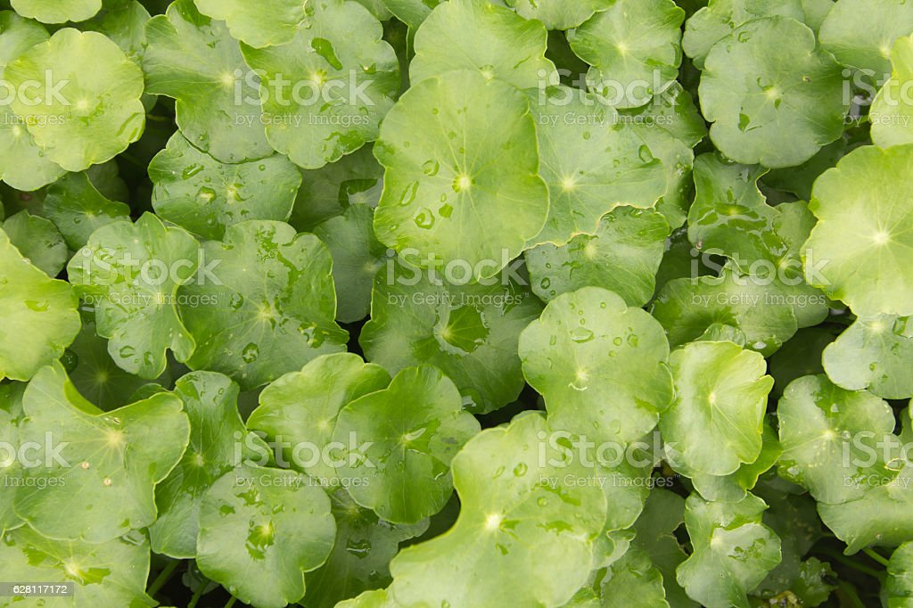 Asiatic Herb background stock photo