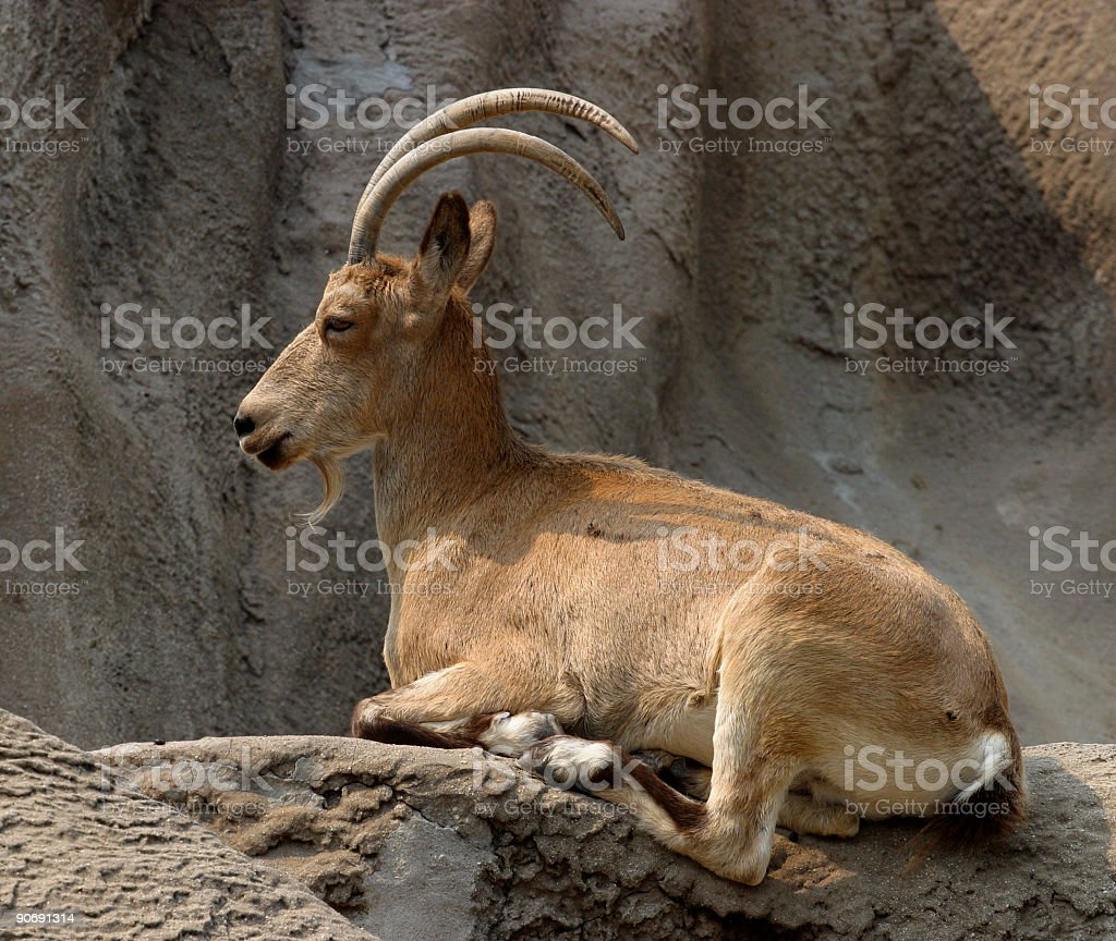 Asiatic Ibex royalty-free stock photo