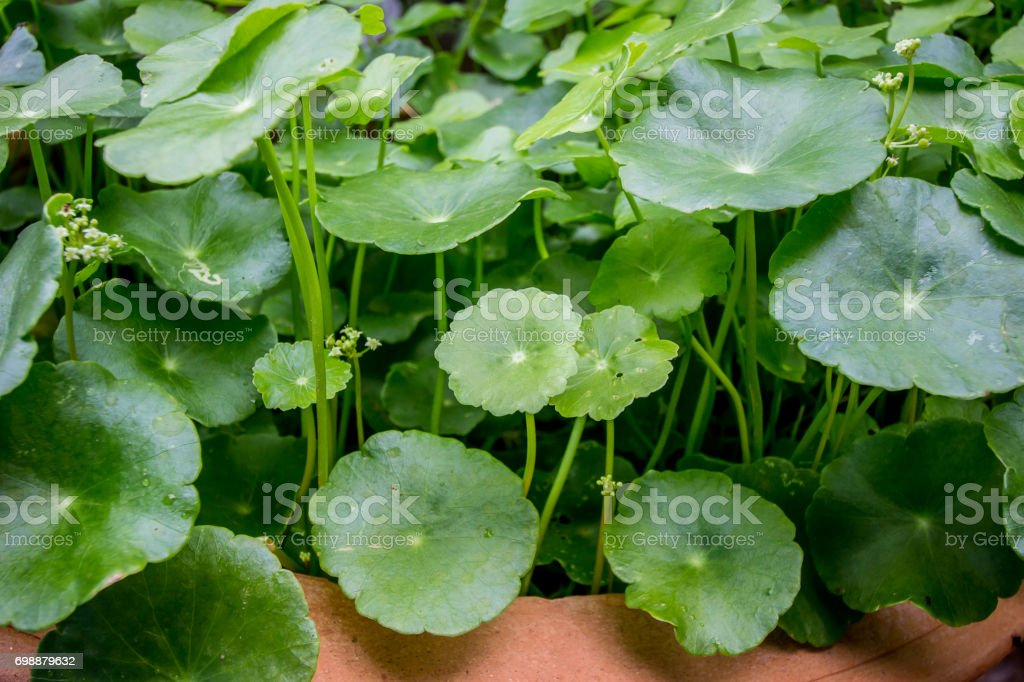 Asiatic leaf stock photo